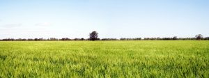 golden fields of wheat panorama - a good land investment